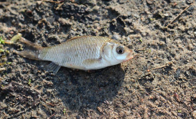 Il caldo e la mancanza di piogge colpiscono il Trasimeno: è strage di pesci