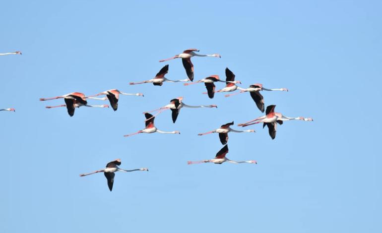 Camargue fenicottero rosa ornitologia cronaca magione