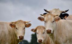 Castiglione del Lago: FdI si oppone alla riduzione delle distanze dagli allevamenti