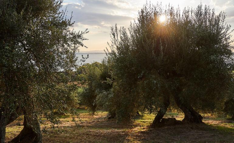 olio oliva Olivagando eventi-e-cultura magione