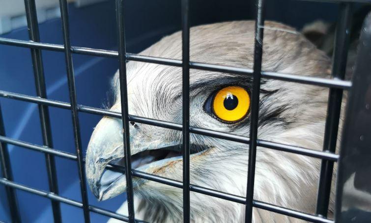 Messo in salvo dai volontari di WildUmbria un raro esemplare di biancone, aveva un'ala rotta