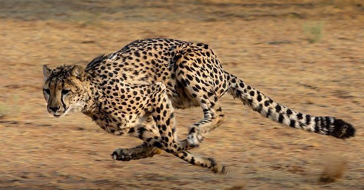 Scuola e ambiente, la IV A di Tavernelle adotta un ghepardo