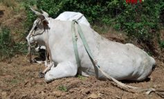 I Vigili del fuoco salvano un bovino di 9 quintali finito in un dirupo